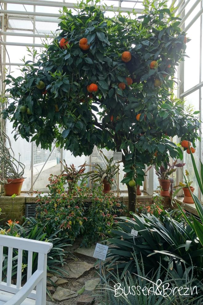 Botanischer Garten Orangenbaum
