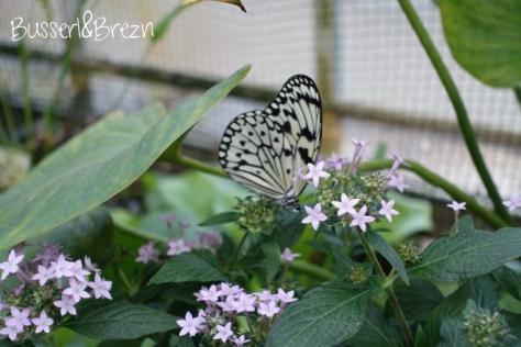 Schmetterling schwarz-weiß