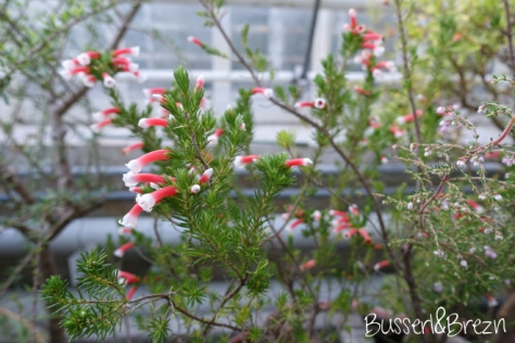 Victorian House Blüten